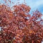 Red_tree2