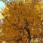yellow_tree3